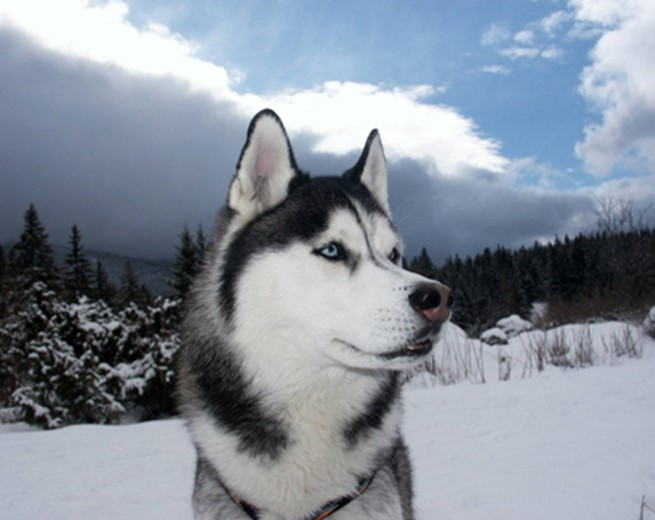 Siberian Husky Makes Incredible Rescue